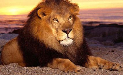 Льва за гриву внушительный вид и силу